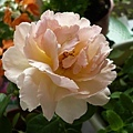 rose_0837