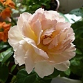 rose_0827h