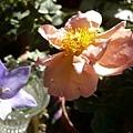 rose_0855