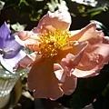 rose_0857