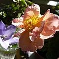 rose_0864_800