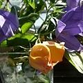 rose_1322_130429