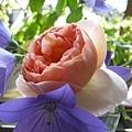 rose_1328_130430