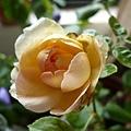 rose_1330_130615