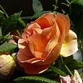 rose_1303_130508