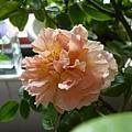 rose_1374_130821