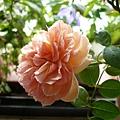 rose_1386_130830