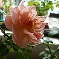 rose_1392_130913