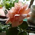 rose_1398_130913