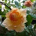 rose_1405_130919