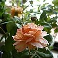 rose_1415_130919