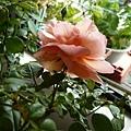 rose_1399_130913
