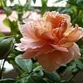 rose_1418_130919