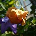 rose_1439_130929