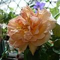 rose_1440_130930