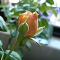 rose_1430_130928