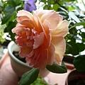 rose_1449_131010
