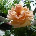 rose_1442_130930