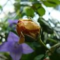 rose_1446_131008