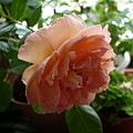 rose_1454_131010
