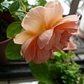 rose_1457_131010