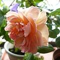rose_1452_131010