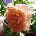 rose_1459_131010