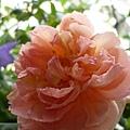 rose_1460_131010