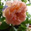 rose_1458_131010
