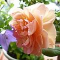 rose_1462_131010