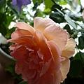 rose_1468_131010