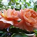 rose_1479_131030.JPG