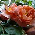 rose_1482_131030.JPG