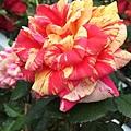 玫瑰-燦爛之星 26
