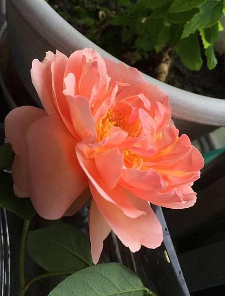 rose1629_150425