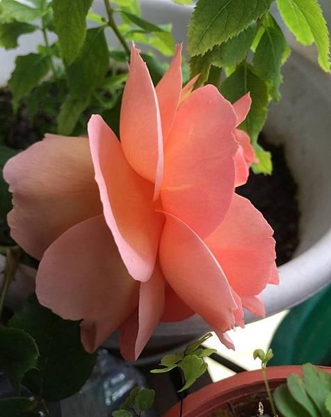 rose1630_150425
