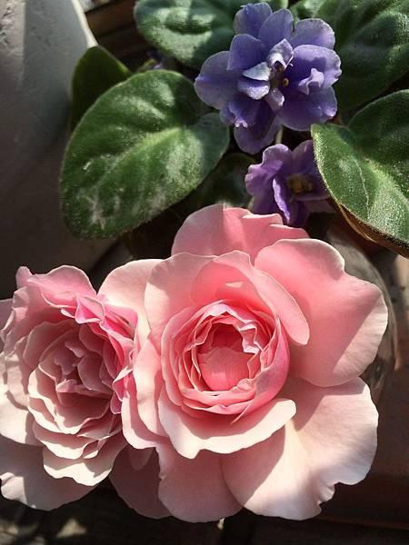 20160526聖母玫瑰