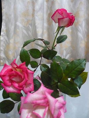 rose_0015