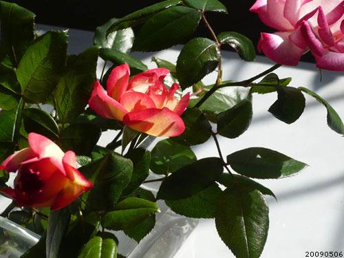 玫瑰49_090506