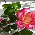 玫瑰30_090505