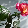 玫瑰34_090505