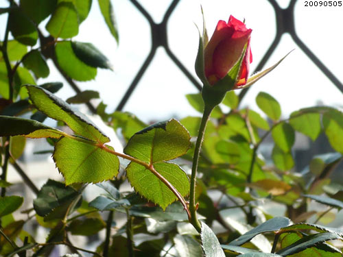 rose_0035_090505.jpg