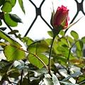 玫瑰35_090505