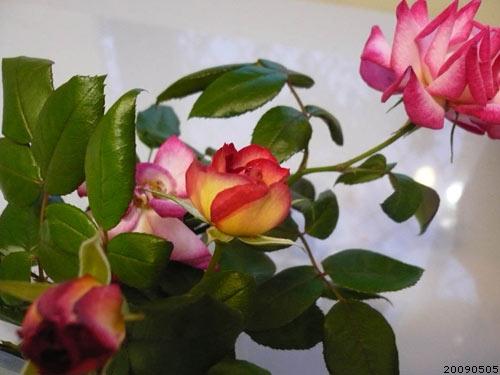 rose_0039_090505.jpg