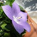 kikyo_0053_090429.jpg
