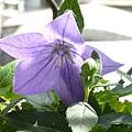 kikyo_0032_090418.jpg