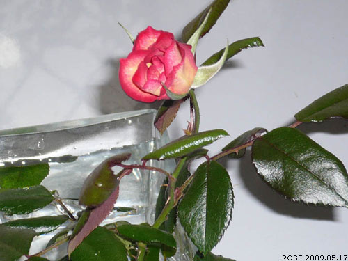 rose_0060_090517.jpg