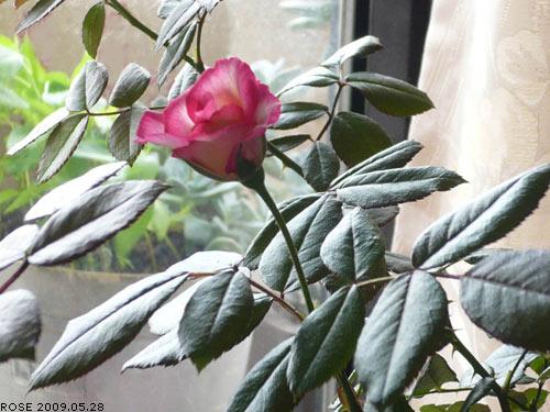 rose_0071_090528.jpg