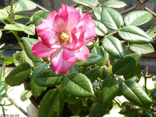 rose_0084_090609.jpg