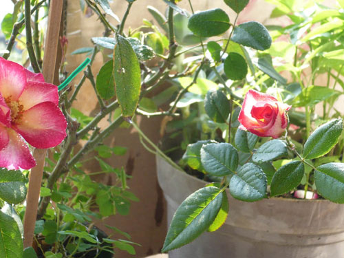 rose_0090_090610.jpg